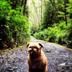 Brussels Griffon the woodland creature.