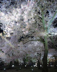 Kyoto. Japan. Cherry blossom
