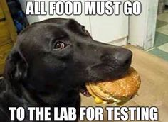 All food must go to the lab for testing. #LabradorRetriever