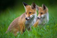 Foxes by JMrocek.deviantart.com on @deviantART