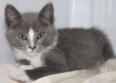 ADOPTED>Intake: 5/23 Available: Now  NAME: Bobby ANIMAL ID: 31690839 BREED: DSH SEX: Male  EST. AGE: 7 weeks  Est Weight: 1.13 lbs Health:  Temperament: Friendly ADDITIONAL INFO:  RESCUE PULL FEE: $35