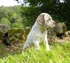 Braque Du Bourbonnais 08 Unique Dog Breeds, Rare Dog Breeds, Popular Dog Breeds, Braque Du Bourbonnais, Border Collie Mix, Labrador Retriever, Corgi, Puppies, Cute