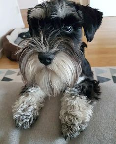 """142 Likes, 4 Comments - O T T O (@minischnauzerotto) on Instagram: """"Play with me, mother. ♂️♂️ #dogsofig #dvärgschnauzer #dvergschnauzer #minischnauzer…"""""""
