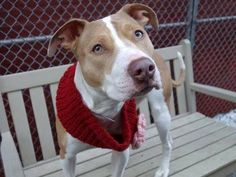 SAFE 04/06/15!  Was TO BE DESTROYED - 04/06/15 Manhattan Center - P  My name is HERA. My Animal ID # is A1029550. I am a spayed female white and tan pit bull mix. The shelter thinks I am about 1 YEAR 1 MONTH old. For more information on adopting from the NYC AC&C, or to find a rescue to assist, please read the following: http://urgentpetsondeathrow.org/must-read/