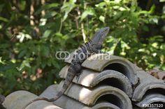 Die Leguane von Costa Rica