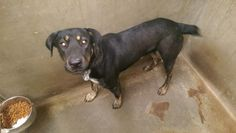 """11/21/14-ODESSA URGENT - OWNER SURRENDER!! """"Grizzly"""" male Rotti mix 3 years old Located at Odessa, Texas animal control. The pound is full and needs kennels. We need dogs adopted!!!! Please go adopt/foster/rescue!"""