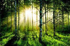 FOREST SCENE STATEMENT WALL WALLPAPER MURAL - 10FT x 7.6FT!!