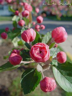 macro, apple blossoms, Holland, Michigan.  Photo: Lita Sandy