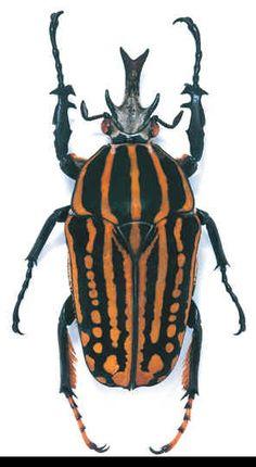 Chelorrhina savagei Location: Zaire Size: 5 cm