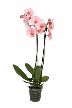 Colorchid Exclusive Phalaenopsis orchidee 'Valentine'