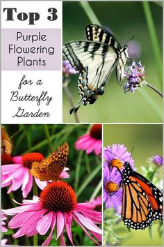 My Top 3 purple flowers for DIY Butterfly Gardens!