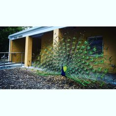 Showing off at Rottnest police station Summer day  Rottnest island #rotto #rottnest #rottnestisland #lovemyrotto #westernaustralia #beach #relax #tropical #memoriesofrotto #police #peacock by west_oz_photographer http://ift.tt/1L5GqLp