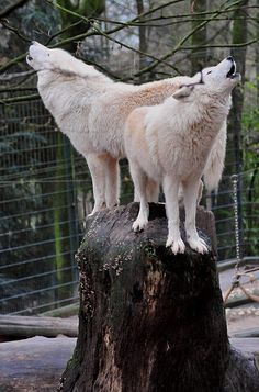 Random Howling on the Internet. : wolveswolves: Arctic wolves (Canis lupus arctos)...