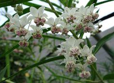 "Asclepias physocarpa (""Hairy Balls""/Balloon Pod Milkweed). Host for Monarchs, Unexpected Cycnias, Milkweed Tussocks, etc."