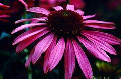 """Echinacea purpurea"" Purple cone flower: hardy perennial, part to full sun, Back Gardens, Outdoor Gardens, Prairie Garden, Rock Garden Plants, Border Plants, Lavender Garden, Plant Catalogs, Plant Guide, Hardy Perennials"
