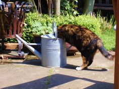 Image result for cats and watering cans