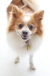 Scarlett is an adoptable Pomeranian Dog in Beverly Hills, CA. Scarlett is a Pomeranian, about 5 years old, she weighs about 10 pounds. She was a stray found on the street, and rescued by one of our gr...