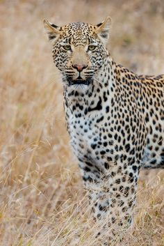 The Leopard…… | Andrew Aveley Photographer
