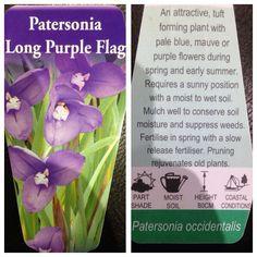Patersonia, long purple flag