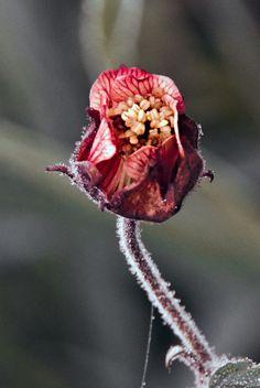 spring anemone