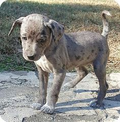 catahoula chihuahua mix preston ct black mouth cur catahoula leopard dog mix 7993