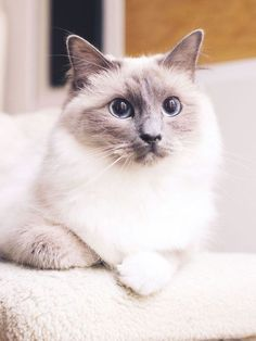 Time to Procrastinate—Here Are the 9 Cutest Cat Breeds Around Cats have a reputation for being independent and aloof, but certain breeds can be warm, friendly companions. See a few of the cutest cat breeds around Common Cat Breeds, Large Cat Breeds, Popular Cat Breeds, Best Cat Breeds, Cute Cat Breeds, Cutest Kitten Breeds, Kittens Cutest, Cats And Kittens, Cute Cats