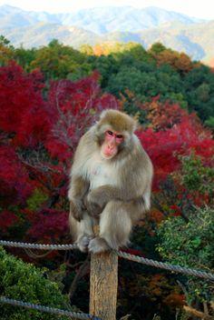 Arashiyama Monkey Park near Kyoto, Japan http://www.tourabsurd.com/dreaming-asia-part-2