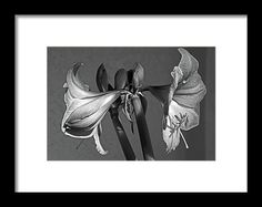 amaryllis, black and white, flower, nature, bloom, blossom, michiale schneider photography