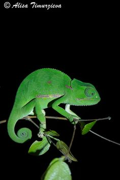 Photograph Dark side of the Chameleon by Alisa Timurzieva on 500px