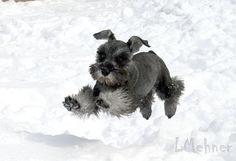 Flight Schnauzer Dog