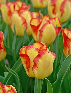 Cape Town Triumph Tulip