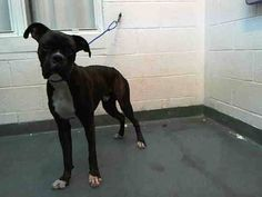 HUNTER (A1662973) I am a male black brindle and white Boxer.  The shelter staff think I am about 2 years old and I weigh 53 pounds.  I was found as a stray and I may be available for adoption on 12/06/2014. — Miami Dade County Animal Services. https://www.facebook.com/urgentdogsofmiami/photos/pb.191859757515102.-2207520000.1417560787./882311941803210/?type=3&theater