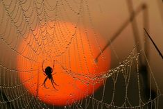 Spider Web with Spider at Sunrise.