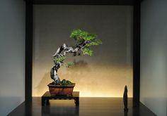 The Omiya Bonsai Art Museum, Saitama - Timeline 赤松(あかまつ akamatsu) Red Pine
