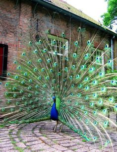 blue or Indian peafowl originally of India and Sri Lanka and the green peafowl of Myanmar (Burma), Indochina, and Java) Pretty Birds, Love Birds, Beautiful Birds, Animals Beautiful, Cute Animals, Exotic Birds, Colorful Birds, Peacock Bird, Male Peacock
