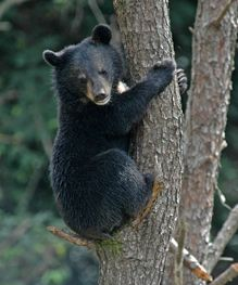 Historic vote to end global bear bile industry. Read the full story: http://www.wspa.ca/latestnews/2012/Historic-vote-to-end-global-bear-bile-industry.aspx?utm_source=pinterest_medium=link_campaign=bearbile