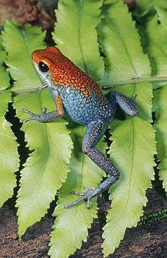 Granulated Poison Arrow Frog, Rainforest