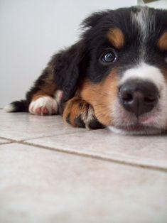 bernese mountain dog puppy #BerneseMountainDog