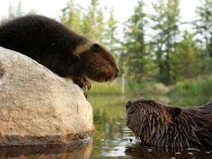Ten wonderful animals that can teachus how tolove and befaithful - Beavers