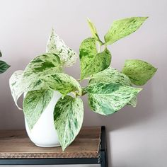 Perennial Flower Gardening - 5 Methods For A Great Backyard Indoor House Plants. House Plants Decor, Plant Decor, Indoor Garden, Indoor Plants, Marble Queen Pothos, Pothos Plant, Variegated Plants, Plant Aesthetic, House Plant Care