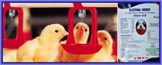 गर्मी में मुर्गी पालन कैसे करें ?