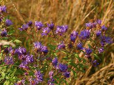 purple PA