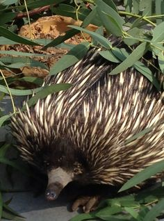 Echidna's are spikey little mammals that are native to the Australian bush