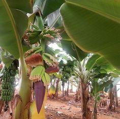 Στις αρχές του αιώνα, γύρω στο 1920, ο μοναχός Λουκάς, που μόνασε στη Μονή Αγ. Αντωνίου Άρβης, επιστρέφοντας από ένα ταξίδι του τους Άγιους Τόπους έφερε μαζί του φυτά μπανάνας και τα φύτεψε στη Μονή. Όταν κάρπισαν οι μπανανιές κανείς δεν δοκίμασε. Ήταν, όμως, όμορφο φυτό και οι κάτοικοι της περιοχής άρχιζαν να παίρνουν μοσχεύματα και να τα φυτεύουν στις αυλές τους για διακοσμητικούς λόγους.