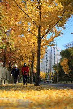 집가는길에 있는 은행나무길이 너무예쁘네요. 예쁜 가을이 물러가니 아쉽네요! 위치는 대구 대곡역에서 대구수목원가는 길에 위치한 은행나무 길입니다. @Kor_Visitkorea #트래블리더 pic.twitter.com/BNYtJK7VPJ