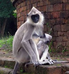 Hanuman or Gray Langur is a large monkey with pale gray or yellowish body, long tail, thick eyebrows, and black hands, feet and face. This is one of the langurs you find in India, where they are sacred.They have increased greatly in number over years, now causing a lot of problems in the cities.  tufted gray langur