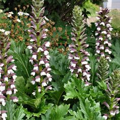 ACANTHUS MOLLIS | (oyster plant or bear's breaches) BULK PACK OF 8 #botanex #botanexstore #outdoors Landscaping Plants, Front Yard Landscaping, Oyster Plant, Purple And White Flowers, Privacy Plants, Agapanthus, Herbaceous Perennials, Tropical Vibes, Cool Plants