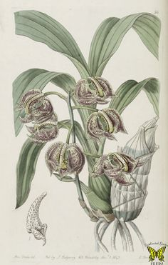 The aromatic Mormodes. Mormodes aromatica. Inflorescence to 13 inches long carries up to 15 fragrant flowers. Grows at high elevations in Mexico, El Salvador, and Honduras. Illustration by Sarah Ann Drake (1843).