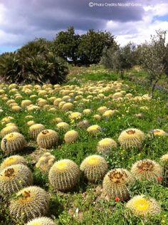 #sangiorgiosuitesmodica a Cactus nursery near our houses in #modica #repin www.sangiorgiosuitesmodica.it
