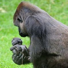 mapenzi, le bébé gorille du zooparc de beauval: